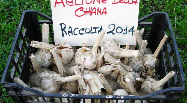 L'aglione della Valdichiana: storia e curiosità
