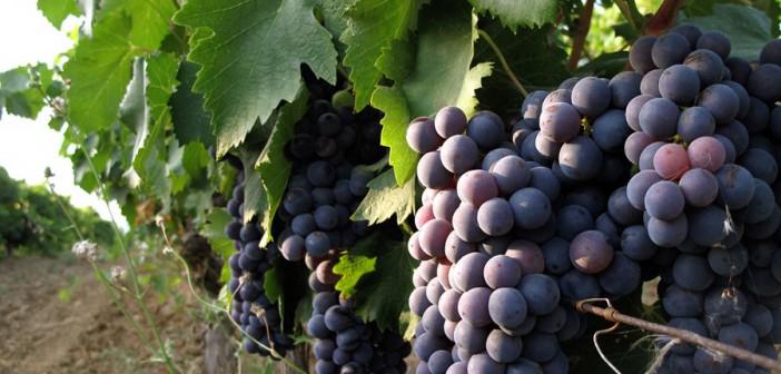 """Consorzio Vino Nobile: """"La viticoltura è il paesaggio toscano"""""""