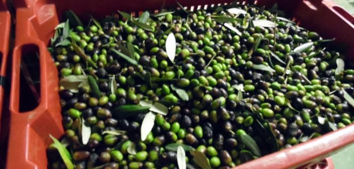 Tempo di raccolta delle olive: ecco tutte le fasi di lavorazione