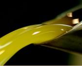 Raccolta delle olive: la biologia ci spiega come sarà l'olio 2014