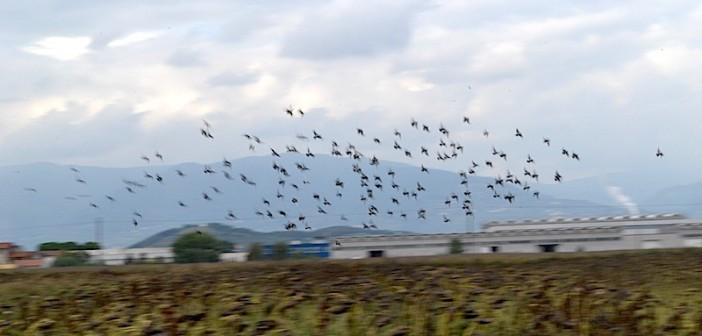 Abbattimento piccioni e storni per difendere le colture agricole