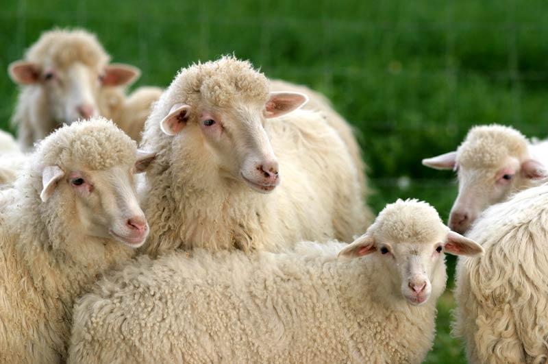 Nell 39 aretino 15 pecore colpite dal virus della lingua blue - La pagina della colorazione delle pecore smarrite ...